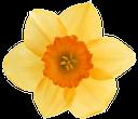 цветок нарцисса, желтый нарцисс, желтые цветы, daffodil flower, yellow daffodil, yellow flowers, narzissenblume, gelbe narzisse, gelbe blüten, fleur narcisse, jonquille jaune, fleurs jaunes, flor del narciso, narciso amarillo, flores amarillas, fiore di narciso, giallo narciso, fiori gialli, flor de narciso, narciso amarelo, flores amarelas