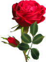 красная роза, цветок розы, цветы, флора, red rose, flower roses, flowers, rote rose, blumenrosen, blumen, rose rouge, fleurs roses, fleurs, flore, rosa roja, rosa rossa, rose di fiori, fiori, rosa vermelha, rosas de flores, flores, flora, червона троянда, квітка троянди, квіти