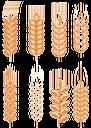 колоски пшеницы, spikelets of wheat, cereals, spikelets, weizenähren, getreide, ähre, épis de blé, des céréales, épi de maïs, cereales, mazorca de maíz, spighe di grano, cereali, spiga di grano, espigas de trigo, cereais, espiga de milho, колоски пшениці, злаки, колосок