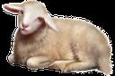 фауна, животные, парнокопытные, овца, маленькая овечка, animals, cloven-hoofed, sheep, little lamb, tiere, paarhufer, schaf, kleines lamm, faune, animaux, biongulé, moutons, petit agneau, animales, de pezuña hendida, ovejas, pequeño cordero, animali, ungulati, pecora, agnello, fauna, animais, biungulados, carneiro, cordeiro pequeno