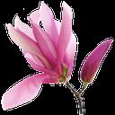флора, цветок магнолии, растение магнолия, весна, magnolia flower, magnolia plant, spring, magnolienblume, magnolie pflanze, frühling, flore, fleur de magnolia, plante de magnolia, ressort, flor de magnolia, planta de magnolia, fiore di magnolia, pianta di magnolia, flora, flor de magnólia, planta magnólia, primavera