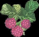 малина, ягода малины, красная ягода, красный, raspberry, berry raspberry, red berry, red, himbeere, beere himbeere, rote beere, rot, framboise, baie framboise, baie rouge, rouge, frambuesa, bayas frambuesa, bayas rojas, rojas, lampone, frutti di bosco lampone, frutti rossi, rosso, framboesa, baga vermelha, vermelha, ягода малини, червона ягода, червоний