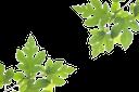 ветка клена, зеленый лист, ветки зеленых листьев, branch of maple, green leaf, branches of green leaves, ahorn baum-zweig, zweige, grüne blätter, branche d'érable de l'arbre, les feuilles vertes, des branches, des feuilles vertes, arce rama de árbol, ramas, hojas verdes, ramo di acero albero, rami, foglie verdi, filial de bordo árvore, ramos, folhas verdes