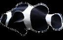 рыба клоун, морская рыба, красивая рыбка, fish clown, sea fish, beautiful fish, clownfische, seefische, schöne fische, poissons clown, poissons d'eau salée, de beaux poissons, peces payaso, peces de agua salada, peces precioso, pesci pagliaccio, pesci di mare, bellissimo pesce, peixe-palhaço, peixes de água salgada, peixes bonitos