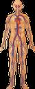 тело человека, кровеносная система, кардиология, сердце, кровеносные сосуды, анатомия, внутренние органы, медицина, строение тела, human body, circulatory system, cardiology, heart, blood vessels, anatomy, internal organs, medicine, body structure, menschlicher körper, kreislaufsystem, kardiologie, herz, blutgefäße, innere organe, medizin, körperstruktur, corps humain, système circulatoire, cardiologie, coeur, vaisseaux sanguins, anatomie, organes internes, médecine, structure du corps, cuerpo humano, sistema circulatorio, cardiología, corazón, anatomía, órganos internos, estructura del cuerpo, corpo umano, apparato circolatorio, cuore, vasi sanguigni, organi interni, struttura corporea, corpo humano, sistema circulatório, cardiologia, coração, vasos sanguíneos, anatomia, órgãos internos, medicina, estrutura do corpo, тіло людини, кровоносна система, кардіологія, серце, кровоносні судини, анатомія, внутрішні органи, будова тіла