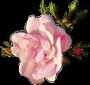 розовый цветок, розовая роза, растение, цветок розы, розовый, pink flower, pink rose, plant, rose flower, pink, rosa blume, rosa rose, pflanze, rose blume, fleur rose, rose rose, plante, flore, rose fleur, rose, flor rosada, rosa del rosa, flor color de rosa, fiore rosa, pianta, rosa fiore, flor rosa, rosa rosa, planta, flora, rosa, рожева квітка, рожева троянда, рослина, флора, квітка троянди, рожевий