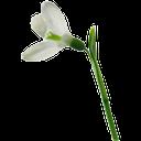 подснежник, белый, цветок, весна, white, flower, spring, schneeglöckchen, weiß, blumen, frühling, blanc, fleur, ressort, campanilla de invierno, blanco, bucaneve, bianco, fiore, snowdrop, branco, flor, primavera