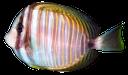 морская рыба, полосатая рыбка, sea fish, striped fish, seefische, gestreifte fische, poissons d'eau salée, poisson rayé, peces de agua salada, peces rayas, pesci di mare, pesci a strisce, peixes de água salgada, peixe listrado