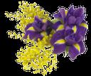 мимоза, ирис, цветы петушки, желтый, фиолетовый, cockerel flowers, yellow, purple, mimose, blumen, hähnen, gelb, lila, mimosas, fleurs, coqs, jaune, violet, gallos, amarillo, púrpura, iris, fiori, galli, giallo, viola, mimosa, íris, flores, galos, amarelo, roxo
