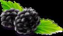 ежевика, ягода ежевики, ягоды, синий, blackberries, berries, blue, brombeeren, beeren, blau, mûres, baies, bleu, moras, bayas, more, bacche, blu, amoras, bagas, azul, ожина, ягода ожини, ягоди, синій