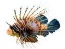рыба крылатка, морская рыба, яркая рыба, красивая рыба, скорпеновые, fish lionfish, sea fish, bright fish, beautiful fish, scorpion, fisch rotfeuerfisch, seefische, helle fische, drachenkopf, lionfish de poissons, poissons de mer, poissons lumineux, pez león peces, peces de agua salada, pescados brillantes, scorpionfish, leone pesce, pesce di mare, pesce luminoso, scorfano, lionfish peixes, peixes de água salgada, peixes brilhantes, aranha