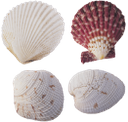 ракушка, панцирь моллюска, морские ракушки, shellfish, shellfish shell, sea shells, schale, schale mollusken, muscheln, coquille, coquille mollusque, coquillages, cáscara, conchas marinas, shell mollusco, conchiglie, shell, molusco concha, conchas, мушля, панцир молюска, морські мушлі
