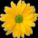 цветок ромашки, распустившийся цветок, желтая ромашка, a daisy flower, a blossoming flower, a yellow daisy, kamillenblüten, ausgewachsene blume, gelbe gänseblümchen, fleur de camomille, fleur entière, marguerite jaune, flor de manzanilla, flor en toda regla, margarita amarilla, fiori di camomilla, fiori in piena regola, margherita gialla, flor de camomila, flor full-blown, margarida amarela