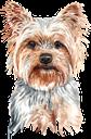 собака, йоркширский терьер, домашние животные, фауна, dog, yorkshire terrier, pets, hund, haustiere, chien, animaux domestiques, faune, perro, mascotas, cane, animali domestici, cão, animais de estimação, fauna, пес, йоркширський тер'єр, домашні тварини