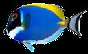 белогрудый хирург, морская рыба, синяя рыба, синий, красивая рыба, white-chested surgeon, sea fish, blue fish, blue, beautiful fish, whitechest chirurg, seefisch, blauer fisch, blau, schöne fische, whitechest chirurgien, poisson de mer, poisson bleu, bleu, beau poisson, whitechest cirujano, pescado de mar, pescado azul, hermoso pez, whitechest chirurgo, pesce di mare, pesce azzurro, blu, bellissimo pesce, whitechest cirurgião, peixes de mar, peixes azuis, azul, peixe bonito