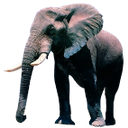 слон, африканское животное, млекопитающее, бивни слона, слоновая кость, african animal, mammal, elephant tusks, ivory, elephant, animal africain, mammifère, défenses d'éléphant, ivoire, elefant, afrikanischer tier, säugetier, elefantenzähne, elfenbein, colmillos de elefante, marfil, animale africano, mammifero, zanne di elefante, avorio, elefante, animal africano, mamífero, presas de elefante, marfim