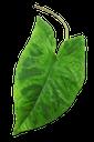 зеленый лист, сингониум комнатное растение, лист сингониума, сингониум баттерфляй, зеленое растение, green leaf, syngonium houseplant, syngonium leaf, blue butterfly, green plant, grünes blatt, syngonium zimmerpflanze blatt syngonium, syngonium schmetterling, grüne pflanze, feuille verte, syngonium papillon, plante verte, hoja verde, hoja de planta de interior syngonium syngonium, syngonium mariposa, foglia verde, pianta d'appartamento syngonium foglia syngonium, syngonium farfalla, pianta verde, folha verde, syngonium houseplant syngonium, syngonium borboleta, planta verde