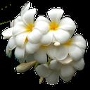 цветок сирени, белая сирень, белый, lilac flower, white lilac, white, lila blume, weiß lila, weiß, fleur de lilas, le lilas blanc, blanc, flor de la lila, lila, blanco, fiore lilla, lilla, bianco, flor lilás, lilás branco, branco
