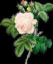 белый цветок, роза, белая роза, садовый цветок, цветы, садовые цветы, зеленое растение, природа, флора, white flower, garden flower, flowers, garden flowers, green plant, weiße blume, gartenblume, blumen, gartenblumen, grüne pflanze, natur, fleur blanche, fleur de jardin, fleurs, fleurs de jardin, plante verte, nature, flore, flor blanca, flor del jardín, flores del jardín, naturaleza, fiore bianco, fiore da giardino, fiori, fiori da giardino, pianta verde, natura, flor branca, flor de jardim, flores, flores de jardim, planta verde, natureza, flora, біла квітка, садова квітка, квіти, садові квіти, зелена рослина