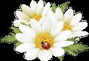 ромашка полевая, chamomile field, ромашка польова, цветы, божья коровка, flowers, ladybug, daisy-feld, blumen, marienkäfer, pâquerette, fleurs, coccinelle, campo de margaritas, mariquita, margherita di campo, fiori, coccinella, campo da margarida, flores, joaninha, квіти, сонечко
