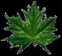 зеленый лист, кленовый лист, канада, green leaf, maple leaf, grünes blatt, ahornblatt, kanada, feuille verte, feuille d'érable, le canada, hoja verde, hoja de arce, foglia verde, foglia d'acero, canada, folha verde, folha de bordo, canadá, клен
