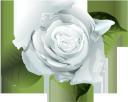 цветок розы, белая роза, цветы, бутон розы, флористика, флора, flower roses, white rose, flowers, rosebud, floristry, blumenrosen, weiße rose, blumen, rosenknospe, floristik, roses de fleurs, rose blanche, fleurs, bouton de rose, fleuristerie, flore, rosa blanca, capullo de rosa, floristería, rose di fiori, rosa bianca, fiori, boccioli di rosa, floristica, rosas de flores, rosa branca, flores, botão de rosa, produtos de floricultura, flora, квітка троянди, біла троянда, квіти, бутон троянди