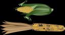 овощи, кукуруза, початок кукурузы, маис, vegetables, corn, maize cob, maize, gemüse, ohr von getreide, légumes, maïs, épi de maïs, le maïs, verduras, mazorca de maíz, maíz, verdure, spiga di grano, mais, legumes, espiga de milho, milho, овочі, кукурудза, качан кукурудзи, маїс