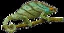 хамелеон на ветке, зеленый хамелеон, хамелеон, chameleon, chamäleon, caméléon, camaleón, camaleonte, camaleão