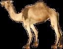 верблюд, корабль пустыни, одногорбый верблюд, животное пустыни, camel, ship of the desert, dromedary, desert animal, kamel, schiff der wüste, dromedar, wüste tier, chameau, vaisseau du désert, dromadaire, animal du désert, camello, barco del desierto, animal del desierto, cammello, nave del deserto, dromedario, deserto animale, camelo, navio do deserto, dromedário, animal do deserto
