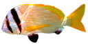 морская рыба, желтая рыбка, saltwater fish, yellow fish, seefische, gelber fisch, poissons d'eau salée, poisson jaune, peces de agua salada, peces de color amarillo, pesci di mare, pesce giallo, peixes de água salgada, peixes amarelos