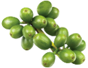 зеленые плоды кофейного дерева, зеленые кофейные зерна, green fruit of the coffee tree, green coffee beans, grüne frucht des kaffeestrauchs, grünen kaffeebohnen, fruit vert de l'arbre de café, les grains de café vert, fruta verde de la planta de café, granos de café verde, frutto verde della pianta del caffè, chicchi di caffè verde, fruta da árvore do café, grãos de café verde