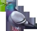 голубь, птицы, отряд пернатых, birds, feathered squad, taube, vögel, gefiederte truppe, pigeon, oiseaux, escouade à plumes, paloma, pájaros, escuadrón emplumado, piccione, uccelli, squadra piumata, pombo, pássaros, pelotão emplumado, голуб, птиці, загін пернатих