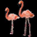 фламинго, розовый фламинго, pink flamingo, rosa flamingo, flamants, flamant rose, flamencos, flamenco rosado, fenicotteri, fenicottero rosa, flamingos, flamingo cor de rosa