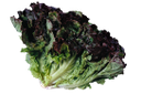 дуболистный салат, аморик, кредо, ривьера, дубачек, листья салата, oaky salad, amoric, creed, oak, lettuce leaves, oakleaf salat, glauben, salat, laitue oakleaf, croyance, laitue, oakleaf lechuga, lechuga, oakleaf lattuga, alface oakleaf, amorik, credo, riviera, dubachek, alface