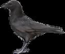 фауна, птицы, ворона, черный ворон, bird, crow, black crow, vogel, krähe, schwarze krähe, faune, oiseau, corneille, corbeau noir, pájaro, cuervo, cuervo negro, uccello, corvo nero, fauna, pássaro, corvo, corvo preto