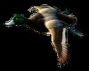 утка, перелетная птица, летящая утка, duck, migratory bird, flying duck, ente, zugvogel, fliegende ente, canard, oiseau migrateur, canard en vol, aves migratorias, pato volador, anatra, uccello migratore, anatra in volo, pato, pássaro migratório, pato do vôo