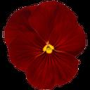 цветок петунии, распустившийся цветок, петуния, красный, petunia flower, blossoming flower, red, petunieblume, vollerblühten blume, petunie, rot, fleur de pétunia, fleur entière, pétunia, rouge, flor de la petunia, flor en toda regla, rojo, fiore petunia, in piena regola fiore, petunia, rosso, flor do petúnia, flor full-blown, petúnia, vermelho