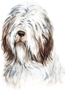 собака, бородатый колли, домашние животные, фауна, dog, bearded collie, pets, hund, bärtiger collie, haustiere, chien, colley barbu, animaux domestiques, faune, perro, mascotas, cane, collie barbuto, animali domestici, cachorro, collie barbudo, animais de estimação, fauna, пес, бородатий коллі, домашні тварини