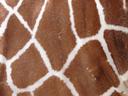 текстура мех, шкура жирафа, texture fur, giraffe skin, textur des pelzes, haut einer giraffe, la texture de la fourrure, la peau d'une girafe, textura de la piel, la piel de una jirafa, texture della pelliccia, pelle di una giraffa, textura da pele, a pele de uma girafa, текстура хутро, шкіра жирафа