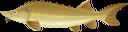осётр, речная рыба, морская рыба, рыбы, морепродукты, sturgeon, river fish, sea fish, fish, seafood, stör, flussfisch, seefisch, fisch, meeresfrüchte, esturgeon, poisson de rivière, poisson de mer, poisson, fruits de mer, esturión, pez de río, pescado de mar, pescado, marisco, storione, pesce di fiume, pesce di mare, pesce, frutti di mare, esturjão, peixe do rio, peixe do mar, peixe, frutos do mar, осетер, річкова риба, морська риба, риби, морепродукти