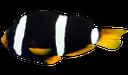 морская рыба, черная рыбка, полосатая рыбка, клоун кларка шоколадный, рыба клоун, saltwater fish, black fish, striped fish, clown fish, seefische, schwarze fische, gestreifte fisch, anemonenfisch clark schokolade, clownfische, poissons d'eau salée, poisson noir, poisson rayé, clownfish clark chocolat, poissons clowns, peces de agua salada, peces negro, pescado rayado, pez payaso clark chocolate, pez payaso, pesci di mare, pesce nero, pesce strisce, pesci pagliaccio clark cioccolato, pesce pagliaccio, peixes de água salgada, peixes pretos, peixe listrado, clownfish clark chocolate, peixe-palhaço