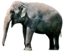 индийский слон, африканский слон, слон, африканское животное, млекопитающее, бивни слона, слоновая кость, african animal, mammal, elephant tusks, ivory, elephant, animal africain, mammifère, défenses d'éléphant, ivoire, elefant, afrikanischer tier, säugetier, elefantenzähne, elfenbein, colmillos de elefante, marfil, animale africano, mammifero, zanne di elefante, avorio, elefante, animal africano, mamífero, presas de elefante, marfim