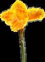 цветок нарцисса, желтый цветок, нарцисс, цветы, флора, желтый, daffodil flower, yellow flower, daffodil, flowers, yellow, narzissenblume, gelbe blume, narzisse, blumen, gelb, fleur de jonquille, fleur jaune, jonquille, fleurs, flore, jaune, flor de narciso, flor amarilla, amarillo, fiore narciso, fiore giallo, giunchiglia, fiori, giallo, flor de daffodil, flor amarela, narciso, flores, flora, amarelo, квітка нарциса, жовта квітка, нарцис, квіти, жовтий