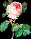 розовый цветок, роза, цветок розы, цветы, садовые цветы, зеленое растение, садовый цветок, природа, флора, pink flower, rose flower, flowers, garden flowers, green plant, garden flower, rosa blume, rosenblume, blumen, gartenblumen, grüne pflanze, gartenblume, natur, rose, fleur rose, fleurs, fleurs de jardin, plante verte, fleur de jardin, nature, flore, flores de jardín, flor de jardín, naturaleza, fiore rosa, fiori, fiori da giardino, pianta verde, fiore da giardino, natura, rosa, flor rosa, flores, flores do jardim, planta verde, flor do jardim, natureza, flora, рожева квітка, троянда, квітка троянди, квіти, садові квіти, зелена рослина, садова квітка