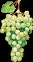 виноград, гроздь винограда, винная ягода, виноделие, белый виноград, grapes, a bunch of grapes, wine berry, winemaking, white grapes, trauben, eine weintraube, weinbeeren, weinbereitung, weiße trauben, raisins, une grappe de raisin, baie de vin, vinification, raisins blancs, racimo de uvas, bayas de vino, vinificación, uvas blancas, uva, un grappolo d'uva, uva da vino, vinificazione, uva bianca, uvas, um cacho de uvas, vinho berry, vinificação, uvas brancas, гроно винограду, винна ягода, виноробство, білий виноград