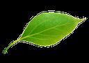 зеленый лист, зеленый лист дерева, green leaf, green leaf of a tree, grünes blatt, grünes blatt baum, feuille verte, arbre à feuilles vert, hoja verde, árbol de hoja verde, foglia verde, albero a foglia verde, folha verde, árvore de folha verde