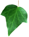 зеленый лист плюща, плющ обыкновенный, вечнозеленые лианы, листья плюща, лиана, green ivy leaf, common ivy, evergreen vines, ivy leaves, liana, grünes blatt efeu, efeu, immergrüne reben, efeu-blätter, rebe, feuille verte de lierre, le lierre anglais, vignes à feuilles persistantes, feuilles de lierre, vigne, hoja verde de la hiedra, hiedra inglés, vides de hoja perenne, hojas de hiedra, vid, verde foglia di edera, inglese edera, viti sempreverdi, foglie di edera, vite, folha verde da hera, inglês hera, videiras verdes, folhas de hera, videira