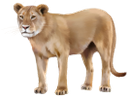 фауна, животные, кошачьи, львица, лев, cat, tier, katze, löwe, faune, chat, lion, león, animale, gatto, leone, fauna, animal, gato, leão