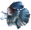 рыбка петушок, сиамский петушок, аквариумная рыбка, рыба, rooster fish, siamese cockerel, aquarium fish, fish, hahn fische, siamesische hähnchen, aquarienfische, fisch, poissons de coq, coquelet siamois, poissons d'aquarium, poissons, pez gallo, gallo de siamés, peces de acuario, los peces, pesce gallo, galletto siamese, pesci d'acquario, pesci, peixe galo, galo novo siamese, peixes do aquário, peixes