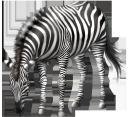 фауна, животные, парнокопытные, зебра, animals, cloven-hoofed, tiere, paarhufer, faune, animaux, artiodactyles, zèbre, animales, de pezuña hendida, la cebra, animali, artiodattili, fauna, animais, artiodáctilos, zebra